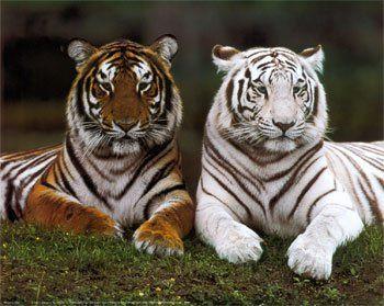 tigre-blanco-5